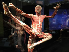 A cadaver on display at a previous Body Worlds Exhibition. (Source: CBC)