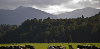 Dairy cows grazing on a farm in New Zealand. (Source: Grey Valley dairy farm, flikr images)
