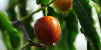 Red date (Chin. Xi'an Chunhefang), also known as jujube, has many health benefits. It is one of the most widely used foods in China due to its outstanding health benefits and long history. (Image Credit: Maxpixel / CC0 1.0)