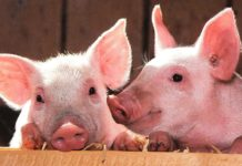 African swine fever is a highly contagious viral infection with a high mortality rate, and no cure has been developed. (Image: Pixabay / CC0)